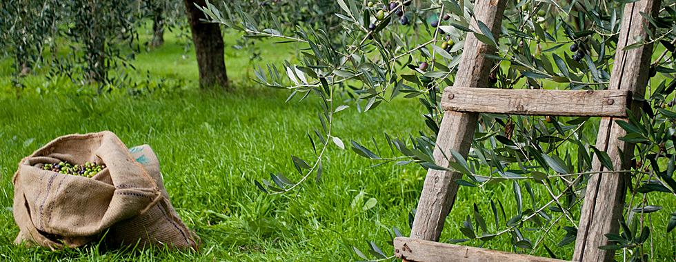 olive980-380